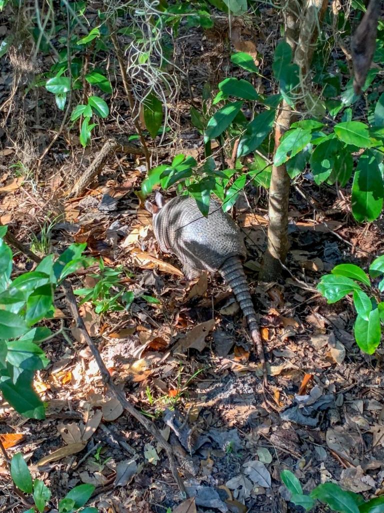 Armadillo Cumberland Island