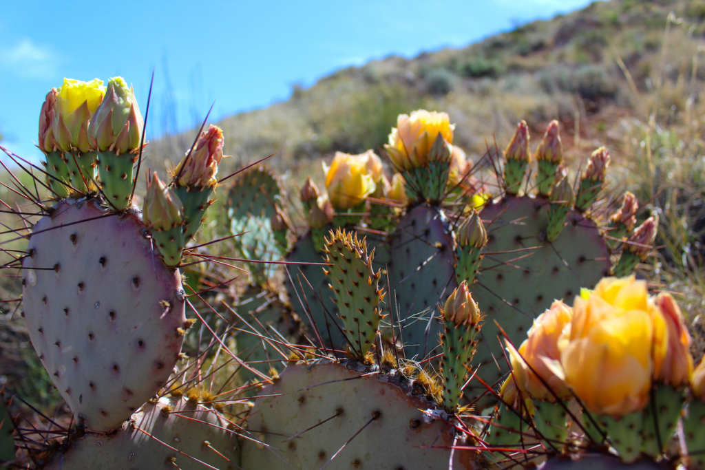 Cactus flowers in Bottomless Lakes State Park