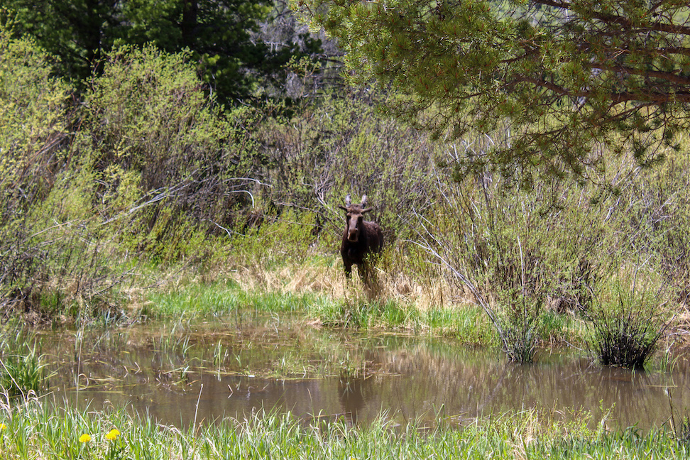 Moose in Poudre Canyon