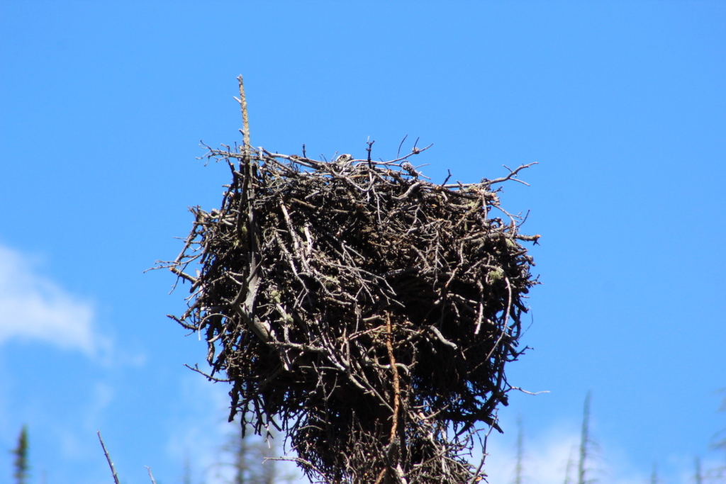 Eagle nest in Poudre Canyon