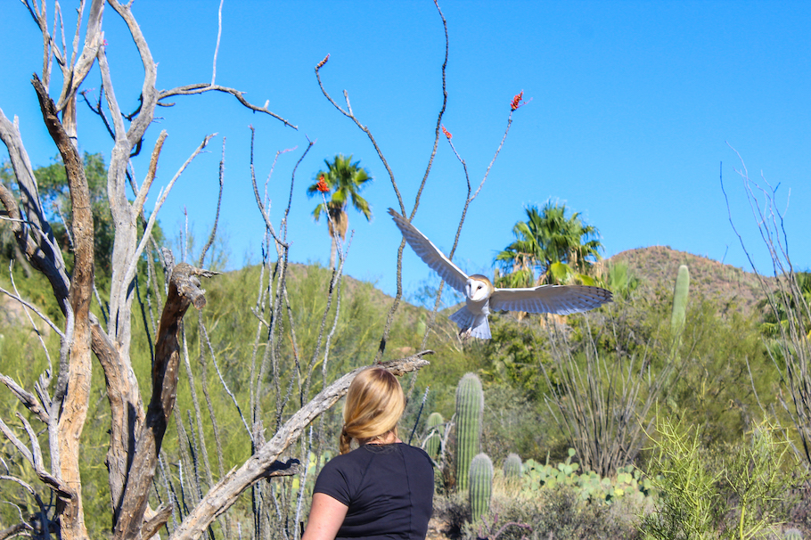 Owl flight demonstration at Arizona Sonora Desert Museuem