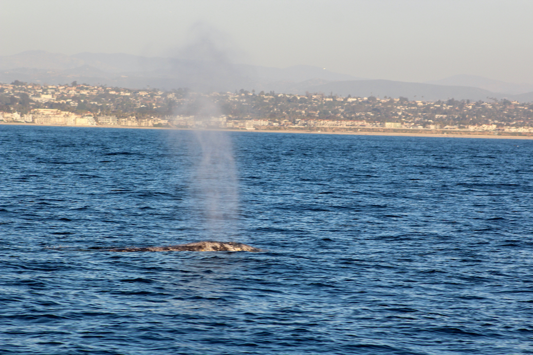 Oceanside Whale Watching