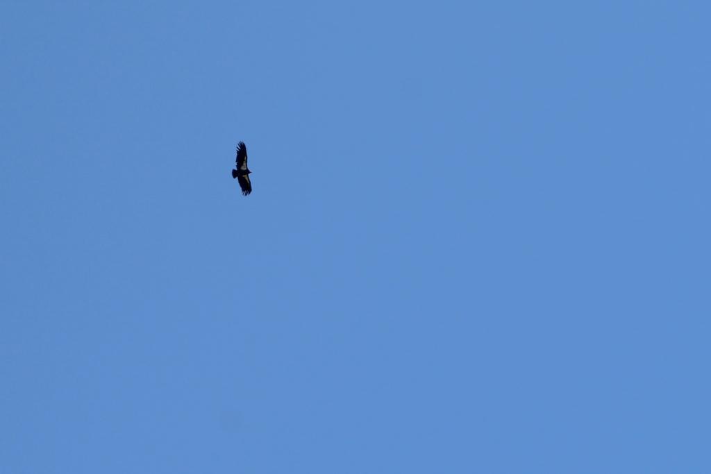 California Condor at Pinnacles National Park