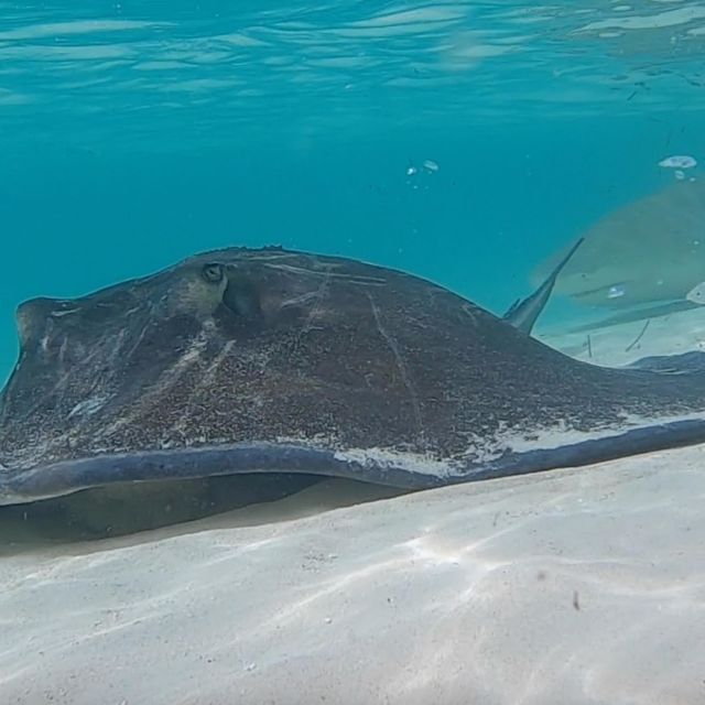 Pretty cool video of a ray peacefully eating a fish carcass we threw out until a shark showed up and took what was left!!! Loving all that we get to see here in the Bahamas!